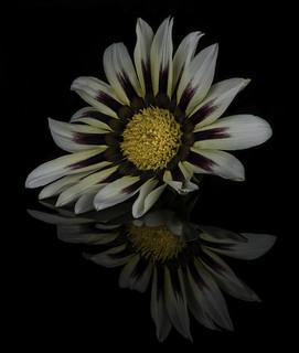 Gazinia Blossom Reflected