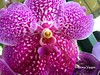 o r c h i d (✿ Graça Vargas ✿) Tags: orchid orquídea graçavargas ©2017graçavargasallrightsreserved flower purple vanda vandacoerulea appleiphone6s iphone 20208070917
