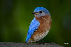 Eastern Bluebird (jt893x) Tags: 150600mm bird bluebird d500 easternbluebird jt893x male nikon nikond500 portrait sialiasialis sigma sigma150600mmf563dgoshsms thrush specanimal