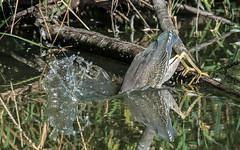 The plunge! (nickinthegarden) Tags: greenheron brydonlagoon langleybccanada