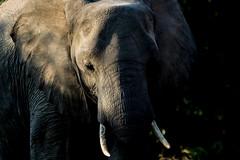 Elephant Calf, Chobe, Botswana (donnatopham) Tags: botswana elephants chobe