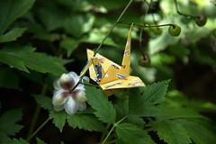 Paper Crane and Anemonopsis macrophylla (Ichigo Miyama) Tags: ツルとレンゲショウマ papercrane anemonopsismacrophylla origami おりがみ ツル 折り紙 折り鶴 paper レンゲショウマ flower おりがみ写真 origamiphotoorigami 花 origamiphoto