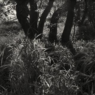 Five trees (Hasselblad 503, Kodak Tri-X 400)