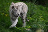White Tiger (Stormcoast Fortress Enterprises) Tags: cat bigcat tiger whitetiger