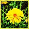 Yellow. #takoma #dc #dclife #washingtondc #iPhone365 #iPhone7plus #iPhone #iPhonemacro #macro  #flower #flowersofinstagram (Kindle Girl) Tags: iphone takoma dc dclife washingtondc iphone365 iphone7plus iphonemacro macro flower flowersofinstagram