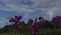 Someone like you (My Photolifestyle) Tags: sky flowers njuteravlivet bluesky nature naturephoto