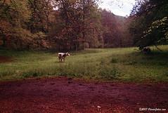 """Mucca (""""Olivier Jules"""") Tags: cow mucca bosco san antonio abruzzo film kodak petri pellicola"""