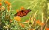 Male Monarch - Fuji Velvia 100 [Explored] (Radical Retinoscopy) Tags: monarch butterfly bokeh butterflyweed nature fujichrome fujichromervp100velvia transparency slide film velvia velvia100 nikoncoolscanv scan
