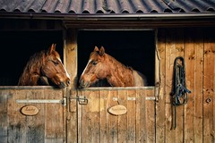 Another love.. (u c c r o w) Tags: horse wood wooden stable horses brown farm farmlife range horserange uccrow animal animals portrait specanimal animalportrait