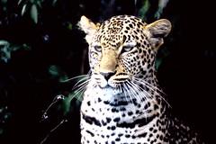 Panthera pardus pardus African Leopard (David A. Hofmann) Tags: feline cat mammal pantheraparduspardus africanleopard