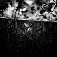 evidence left behind (s_inagaki) Tags: plasticsheet tokyo snap nail fence monochrome blackandwhite bnw ビニール 釘 塀 東京 モノクロ 白黒 スナップ