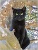 GATO NEGRO (BLAMANTI) Tags: gatos gatonegro felinos scars cicatrices agiles bello hermoso hermosa bellas negro black