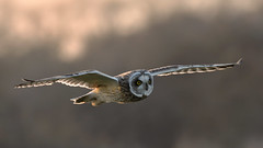 Short-eared Owl (image 2 of 2) (Full Moon Images) Tags: shorteared owl short eared flight flying bird birdofprey