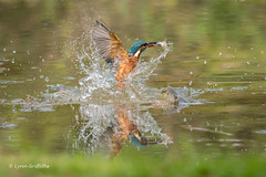 Kingfisher (Alcedo atthis) - Success for both of us 500_2119.jpg (Mobile Lynn) Tags: wild kingfisher birds nature aves bird chordata coraciiformes fauna wildlife otterbourne england unitedkingdom gb coth specanimal ngc coth5 npc sunrays5