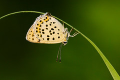 Lycaena tityrus (7) (JoseDelgar) Tags: insecto mariposa lycaenatityrus 425870188736493 josedelgar naturethroughthelens specanimal coth alittlebeauty thegalaxy coth5 sunrays5 fantasticnature ngc npc goldwildlife