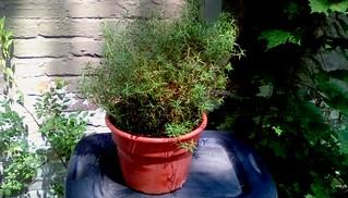Rosemary plant!