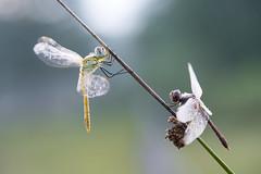 Is there a better way to start the day? Zwervende heidelibel (Sympetrum fonscolombii) en steenrode heidelibel (Sympetrum vulgatum) (look to see) Tags: bokeh sintmaartensheide beek bree belgium libel dragonfly mist dauw dew zwervendeheidelibelsteenrodeheidelibel sympetrumfonscolombii sympetrumvulgatum 2017 summer zomer