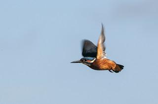 kingfisher Warnham