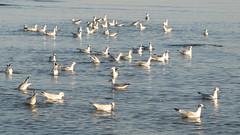 * Busy Seagulls *  ( last photo of the early morning August 30 ) (argia world 1) Tags: rivieraromagnola rimini mare sea gabbiani seagulls acqua water