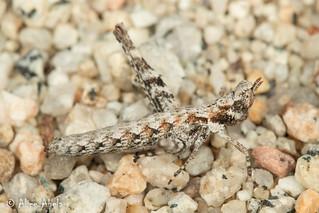 Piute Monkey Grasshopper (Morsea piute) - Female