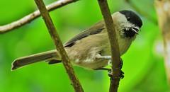 Marsh Tit (donnasmith13) Tags: tit bird wildlife marshtit canonpowershotsx60 nature