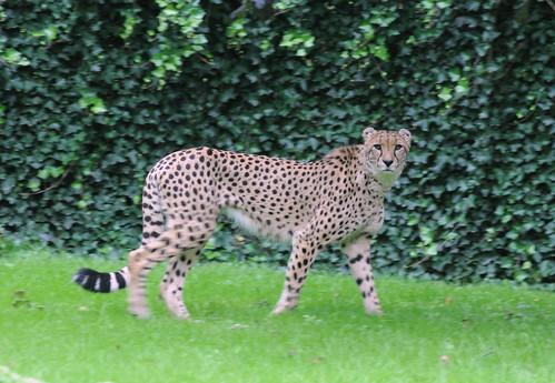 Cheetah Planckendael