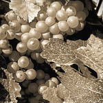 Grapes in Autumn thumbnail