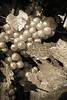 Grapes in Autumn (enneafive) Tags: vineyard grapes harvest monochrome fujifilm xt2 sepia autumn hesbania borgloon belgium texture leafs fruit light nature agriculture wine closeup
