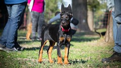 Crowned (zola.kovacsh) Tags: outside outdoor animal pet dog school pup puppy dobermann doberman pinscher