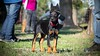 Crowned (zola.kovacsh) Tags: outside outdoor animal pet dog school pup puppy dobermann doberman pinscher