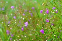 Flowers and Droplets (FiddleHiker) Tags: hbw bokehwednesdays bokeh flowers purple green white waterdroplets closeup dof nature saintcroixstatepark