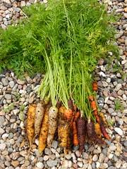 Freshly harvested (Landanna) Tags: food growyourown carrots wortelen gulerod