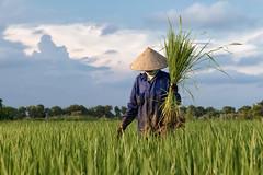 (espinozr) Tags: vietnam asia ninhbinh tamcoc rice field conicalhat hat farmer goldenhour southeastasia 2017 travelphotography cool7 iceboxcool 71 uncool