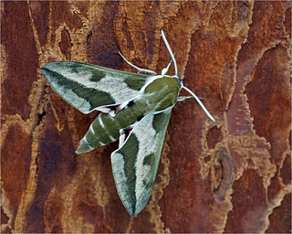 Spurge hawk-moth