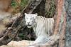 White Tiger (sillie_R) Tags: loro loropark tenerife tiger whitetiger zoo puntabrava canarias spain es