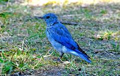 Bluebird in Wyoming (robmcrorie) Tags: grand teton national park wyoming wildlife nature nikon d7500 200500 ed vr lens bluebird bird