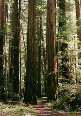 67260005 (Nil Gradisnik) Tags: nikon 35mm film analog redwoods woods humbold