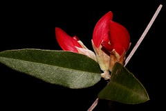 Gastrolobium celsianum (andreas lambrianides) Tags: gastrolobiumcelsianum fabaceae swanriverpea brachysemalanceolatum brachysemacelsianum australianflora australiannativeplants redflowers westernaustralia