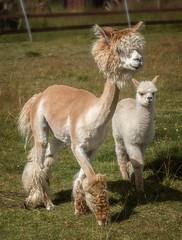 Family (Explore 2017-08-04) (nillamaria) Tags: dogwood2017 dogwood52 alpaca alpacka dogwoodweek30 family artistic