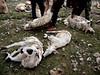 Sheep Shearing (MelindaChan ^..^) Tags: qinghai china 青海 wool 羊毛 sheep 羊 毛 fur hair chanmelmel mel melinda melindachan life shearing shave shear