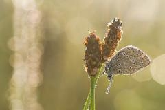 wet wet wet, the shadow side (de_frakke) Tags: icarus common blue blauwtje vlinder mariposa butterfly dauw dew bokeh insect