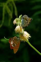 Argynnis paphia? (jehazet) Tags: vlinders butterflies keizersmantel argynnispaphia