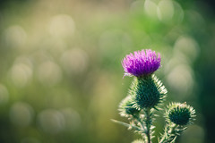 Bokeh (Ákos Fekete) Tags: bokeh nature naturescomposition natural naturephotography green magenta pink purple smctakumar smctakumar50mmf14 vintageprime prime old oldlens colorful colors m42 sony sonyalpha6000 alpha a6000 ilce6000 ilce emount evil mirrorless milc csc beautiful beautifulcapture summer summertime summerfeel august 2017 mbpictures