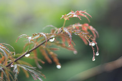 Wet Japanese Maple (rickmcnelly) Tags: rollei carl zeiss planar 50mm18 plant raindrops gx8 bokeh rolleicarlzeissplanar50mm18