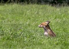 Reynard. (wayne24185071) Tags: animal wild reynard redfox fox red mammal fileld grass free canon1dx wildlife