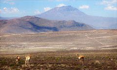 On the Road to Arequipa (kate willmer) Tags: vicuna mountain alitiplano landscape wildlife sky plains peru
