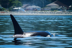 Orca near Campbell River, BC. (Anne McKinnell) Tags: orcinusorca britishcolumbia campbellriver canada georgiastrait killerwhale ocean orca pacific vancouverisland whale