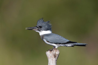 Martin-pcheur d'Amrique / Belted Kingfisher