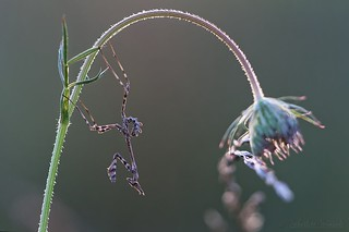 Empusa pennata juvenile - Nymph of Conehead mantis