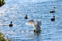 Time to make a move guys (stellagrimsdale) Tags: swan geese lake sunlight sun sunburst sunshine sparkles wings flight